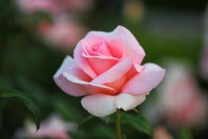 ピンク薔薇一輪